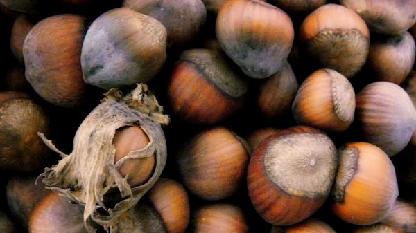 Hazelnuts, in all their glory.