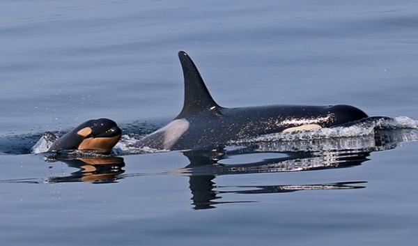 A calf born this year to a resident Puget Sound orca has not been seen recently and scientists think it may have died.