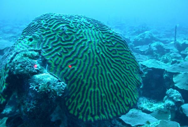 Boulder brain coral off the southwest coast of St. Thomas, U.S. Virgin Islands. Red lights from the ROV shining on the coral help scientists estimate its size. (NOAA)