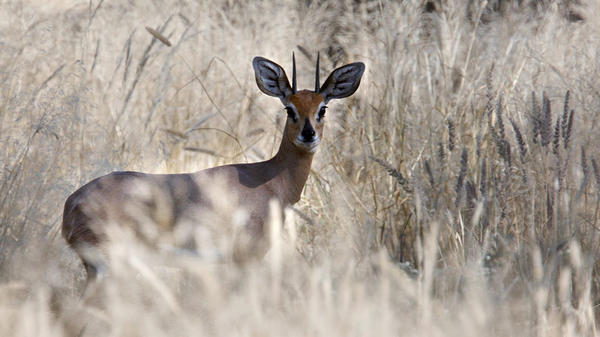 A male steenbok peers from behind a veil of grass in Twyfelfontein conservancy.