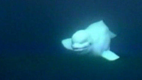 This image, from an archival video, shows the white whale NOC swimming around and under researchers' boats.