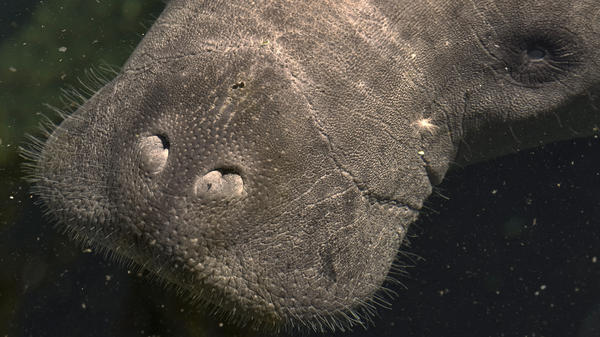 A rescued manatee suffering from exposure to an algae bloom called red tide in southwest Florida comes up for air as it swims into a critical care tank at Tampa's Lowry Park Zoo.