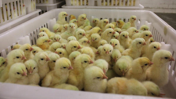These chicks, at a Perdue hatchery in Salisbury, Md., have received no antibiotics.