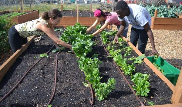 Portland Community College students Andrea White (left), Xiaofeng Huang (right back) and Gaetan-Dauphin Nzowo (right) harvest spinach in the Rock Creek Learning Garden. The garden grows produce for the cafeteria. Kitchen scraps are returned as compost.
