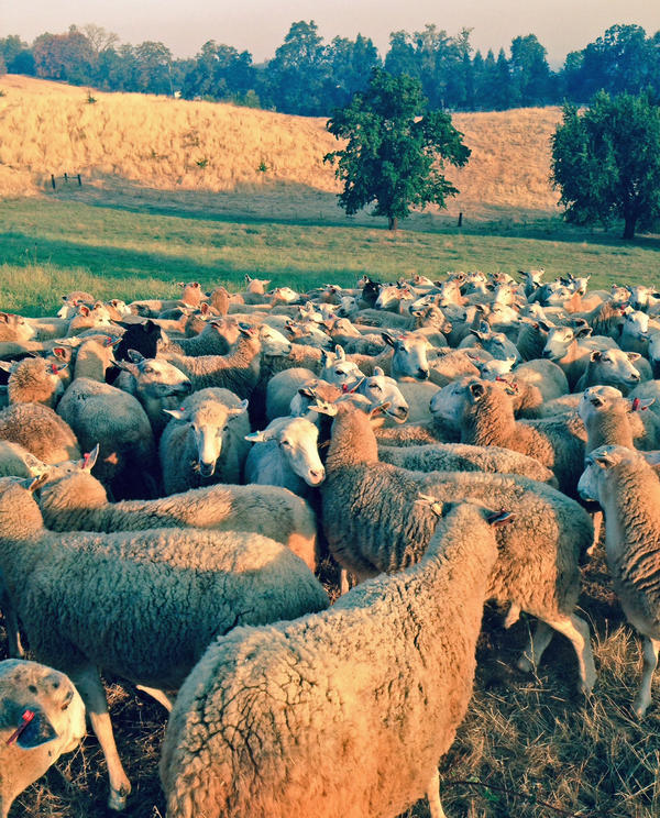 California sheep rancher Dan Macon had to sell almost half of his herd because the drought left him without enough feed.