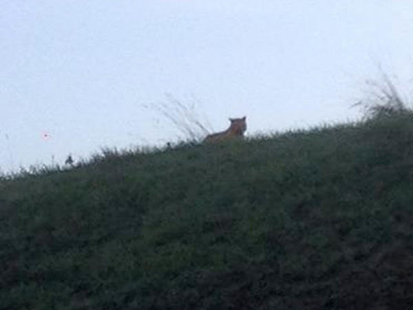 This photo provided by the town council of Montevrain, east of Paris, on Thursday shows the mystery feline. The animal was first described as a tiger. Officials now say it's not a tiger, but they aren't sure what it is.