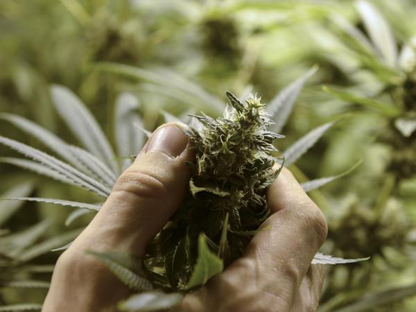 A legal marijuana crop in Uruguay.