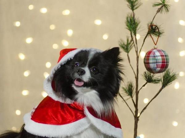 So festive: Latte the Pomeranian poses in a reader-submitted photo, part of a look at the humblest Christmas trees.