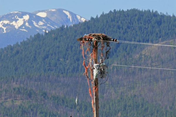 Discarded baling twine adorns a nest on the outskirts of Missoula.