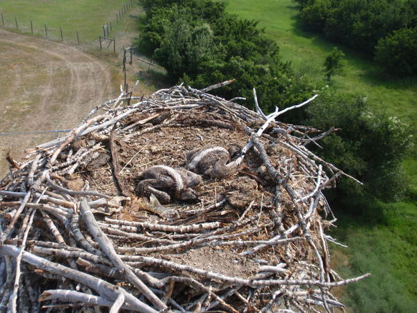 "The ""polluted"" nest contained two osprey chicks."