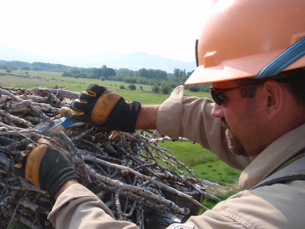 Scissors are George Porter's tool of choice to remove the baling twine woven into this osprey nest.