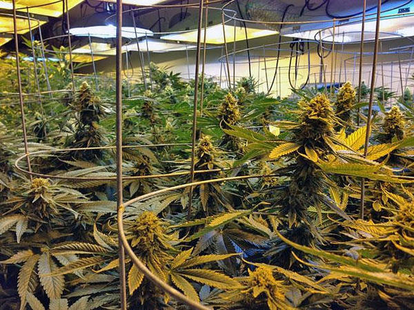 File photo. Northwest tribes are in no rush to legalize marijuana.