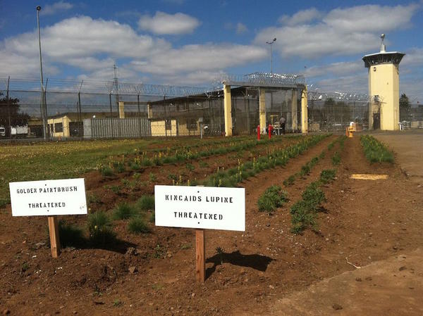 Oregon State Correctional Institution in Salem is growing Kincaid's Lupine and Golden Paintbrush, flowers relied upon by the rare Fender's Blue and Taylor's Checkerspot butterflies.