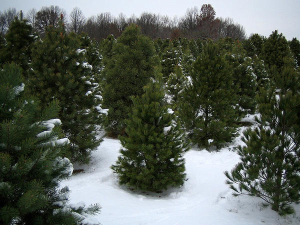 Tree farms provide the majority of Christmas trees. (jpmatth/Flickr)