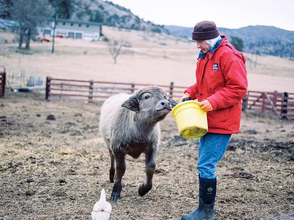 Sister Elizabeth feeds Yoda, a water buffalo calf at the ranch. The nuns bought the buffalo to make mozzarella.