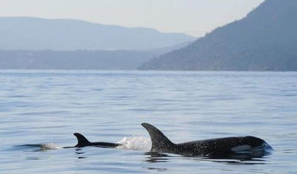 New calf J50 spotted with its mom, J16, on December 30th near Pender Island, B.C.