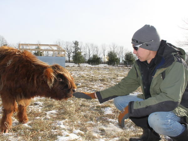 """Josh Gerritsen reaches out to one of the farm's Highland calves. He says life in the city wasn't as satisfying: """"You're not intimately tied to anything."""""""