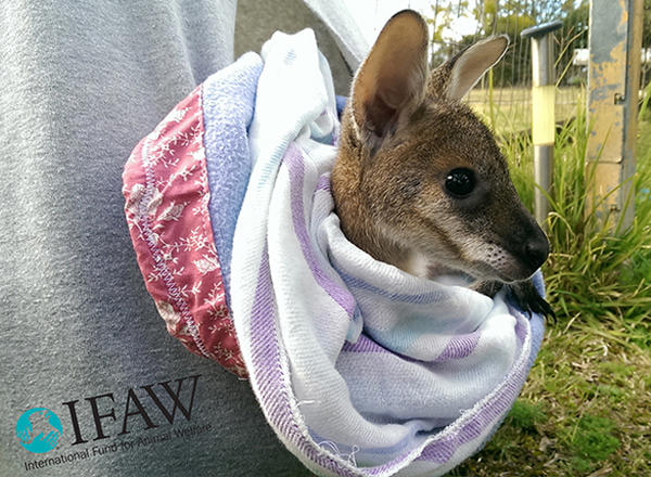"The International Fund for Animal Welfare has asked people to make ""pouch liners"" for baby kangaroos, possums and wallabies. (Yon Veenstra/IFAW)"