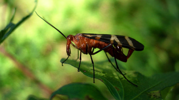 A scorpion fly perches on a leaf at the research farm where Lindgren studied the decomposition of human remains. Scorpion flies are among the first insects to visit a corpse.
