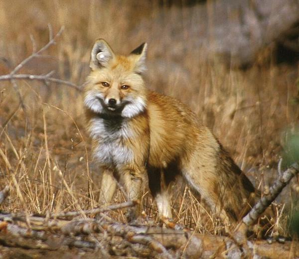 This red fox, photographed in 2002, was part of a study in Lassen Volcanic National Park. Note the white round plastic tag in the animal's right ear. (Keith Slausen/USFS/PSW)