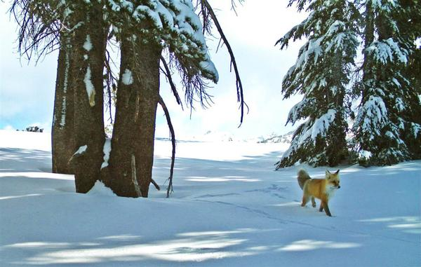 A Sierra Nevada red fox was photographed twice in recent weeks, thanks to a remote motion-sensitive camera. (National Park Service)