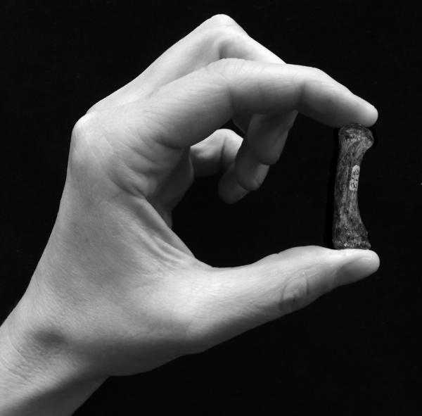 An example of a human precision grip — grasping a first metacarpal from the thumb of a specimen of <em>Australopithecus africanus</em> that's thought to be 2 to 3 million years old.