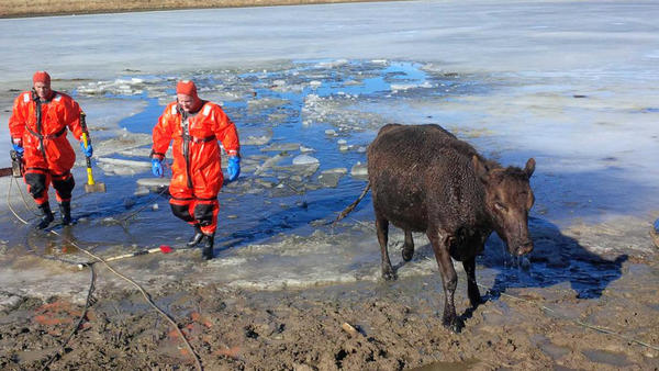A cow walks away from an icy pond after firefighters rescued it and one other cow that had fallen through the ice.