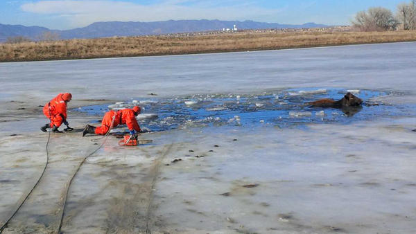 Firefighters cut through the half-foot thick ice to rescue two cows stranded in a frozen pond.