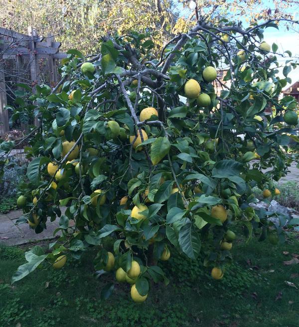 A Meyer lemon tree in California. (Kathy Gunst)