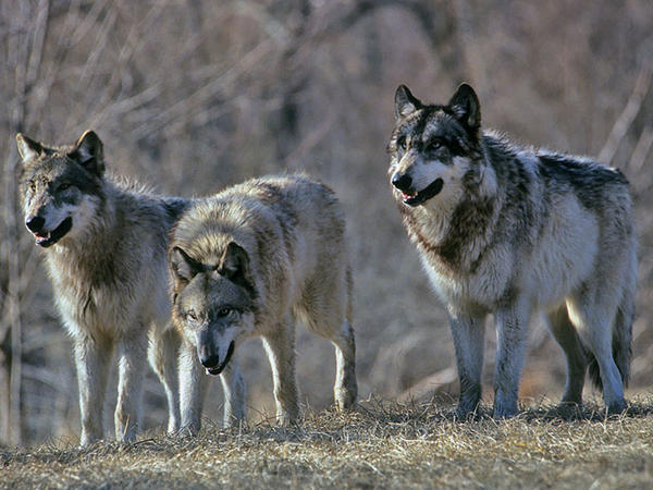 Politicians from northeast Washington want to relocate wolves to the western side of the Cascades.