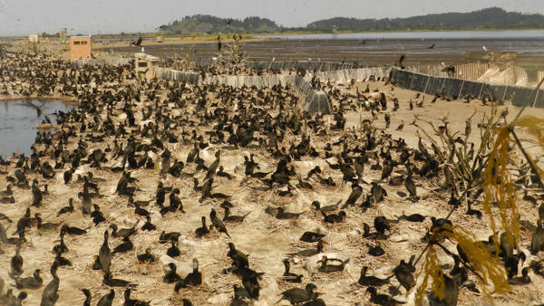 <p>Nearly 30,000 cormorants are nesting on East Sand Island at the mouth of the Columbia River and eating millions of protected salmon andsteelhead.</p>