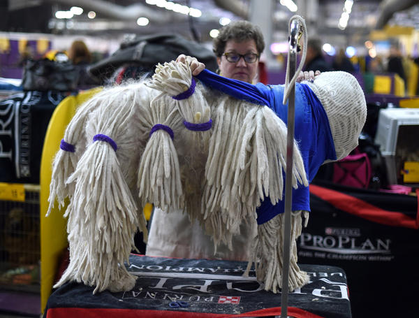 A Komondorok being groomed in the benching area at Pier 92 and 94 in New York City on the 2nd day of competition at the 139th Annual Westminster Kennel Club Dog Show February 17, 2015. (Timothy A. Clary/AFP/Getty Images)