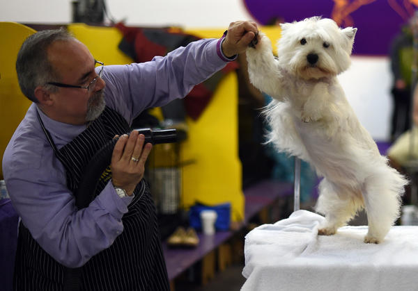 A West Highland White Terrier  in the benching area at Pier 92 and 94 in New York City on the 2nd day of competition at the 139th Annual Westminster Kennel Club Dog Show February 17, 2015. (Timothy A. Clary/AFP/Getty Images)