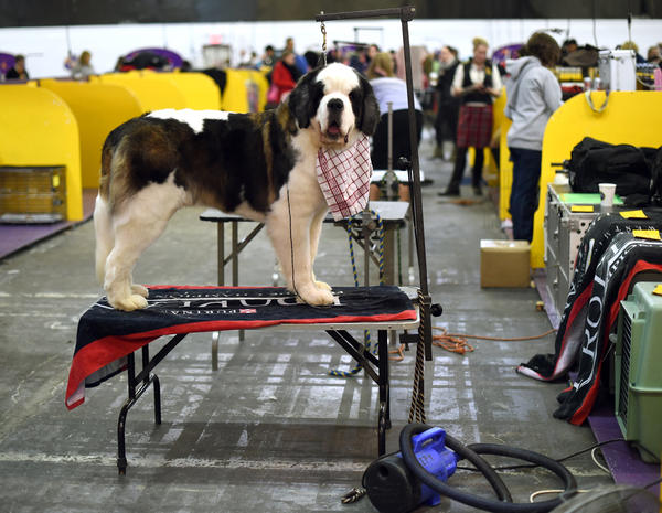 A Saint Bernard stands in the benching area at Pier 92 and 94 in New York City on the 2nd day of competition at the 139th Annual Westminster Kennel Club Dog Show February 17, 2015. (Timothy A. Clary/AFP/Getty Images)