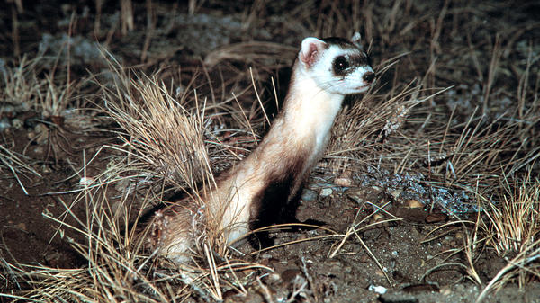 A black-footed ferret on the alert in South Dakota's Conata basin.