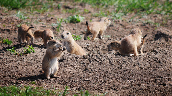 Prairie dogs are ferrets' chief prey. The two species often share tunnels — and plague-infested fleas.