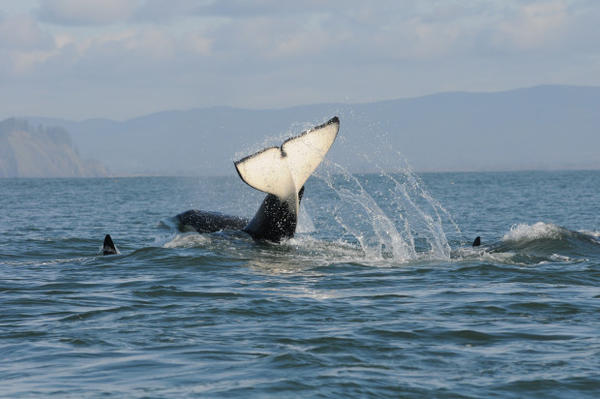 <p>Southern resident killer whales in February, 2015.</p>