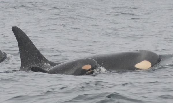 <p>Orca calf spotted off the WA coast last week of February, 2015.</p>