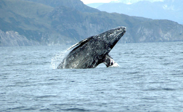 <p>A gray whale breaching in the Pacific Ocean.</p>