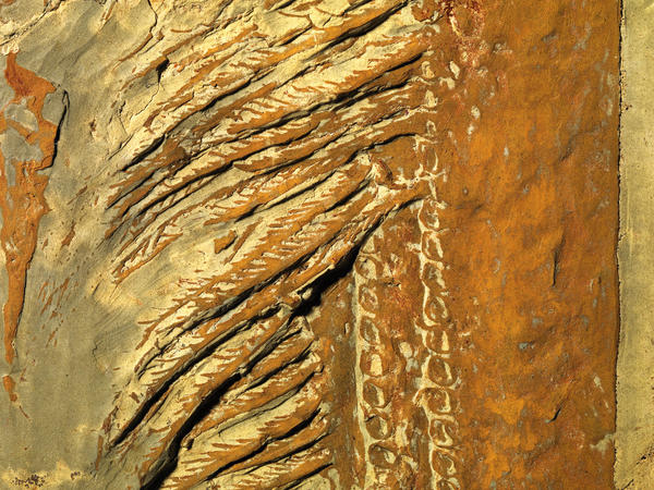 Detail of the fossilized baleen-like scooper of <em>Aegirocassis benmoulae</em>, discovered in Morocco.