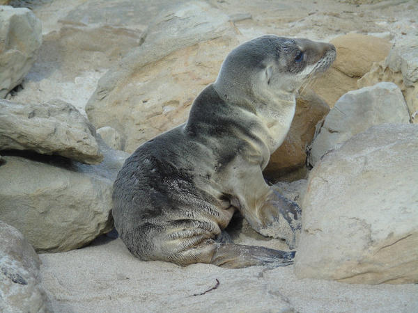<p>An emaciated sea lion pup in California's Channel Islands.</p>