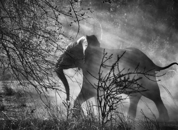 Elephant in Kafue National Park, Zambia, 2010.