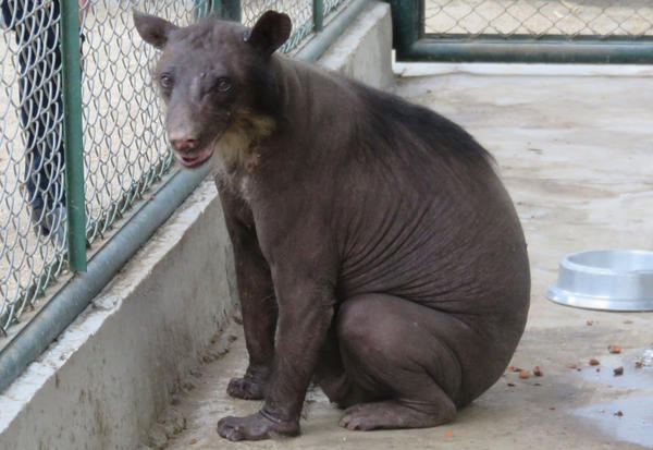 Cholita, an Andean bear, was abused in a circus in Peru and is now in a small zoo. An animal welfare group has now received permission to take Cholita to a wildlife sanctuary in Colorado, along with more than 30 former circus lions.