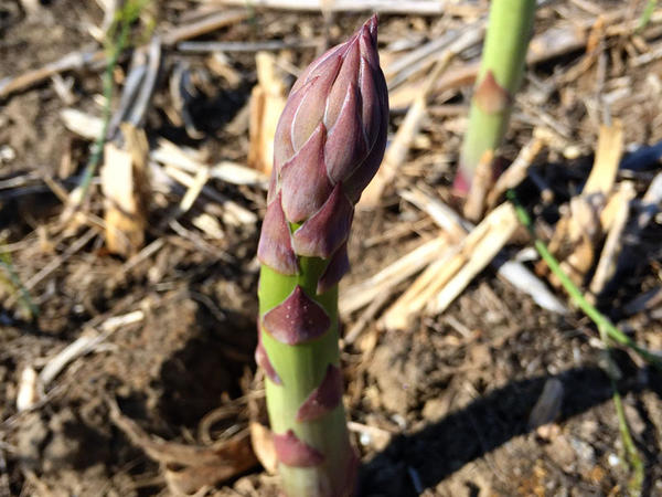 Asparagus spears grow from a underground crown. They send up the new shoots daily. Workers pass over a field each morning to collect what's grown. Later, the spears are sorted by size and bundled at a plant in Pasco.