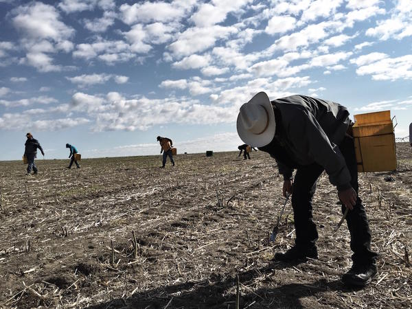 Jesus Serrano and other workers all from the Sinaloa region of Mexico bend to the work of cutting asparagus at a farm north of Pasco. A good worker can earn as much as $20 an hour piece rate on a high-production day.
