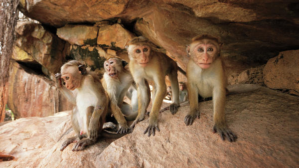 Monkeys on Castle Rock from Disneynature's <em>Monkey Kingdom.</em>