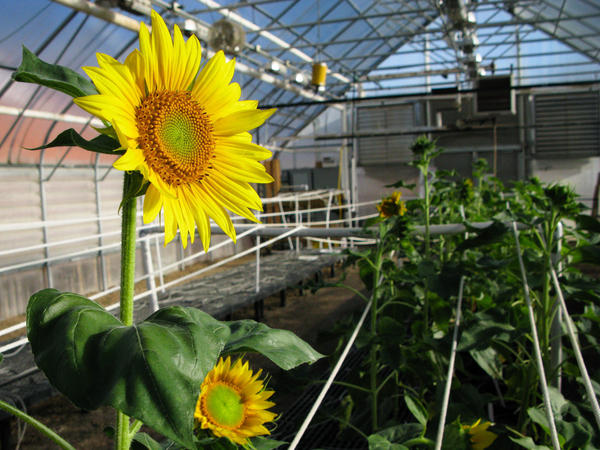 """A sunflower greenhouse in Fargo, N.D., where <a href=""""http://www.ars.usda.gov/pandp/people/people.htm?personid=41691"""">Brent Hulke</a> is breeding plants that produce oil that's dramatically lower in saturated fat."""
