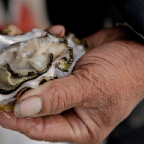 <p>A Puget Sound oyster</p>