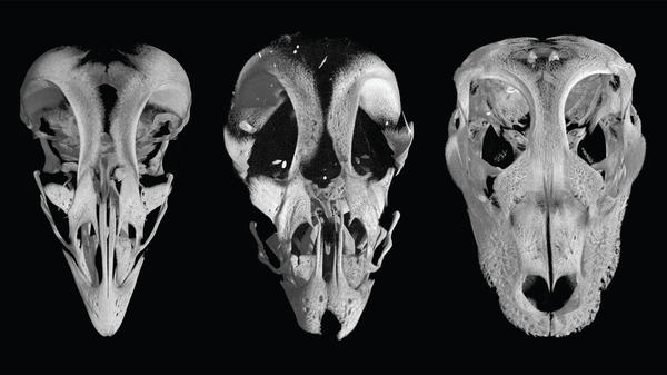 "The skull of a chicken embryo (left) has a recognizable beak. But when scientists block the expression of two particular genes, the embryo develops a rounded ""snout"" (center) that looks something like an alligator's skull (right)."