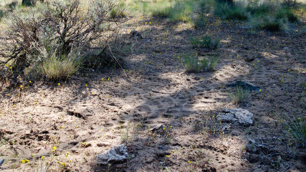 <p>ATV tracks zig-zag through an area that's closed to motorized vehicles in the winter.</p>